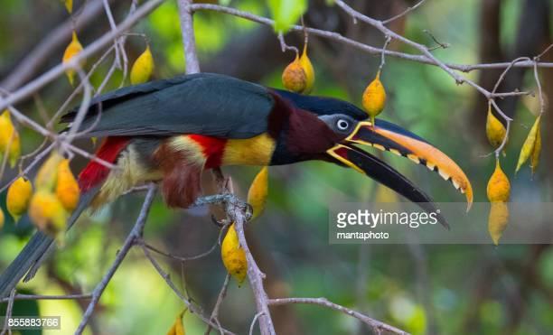 Kastanien eared aracari