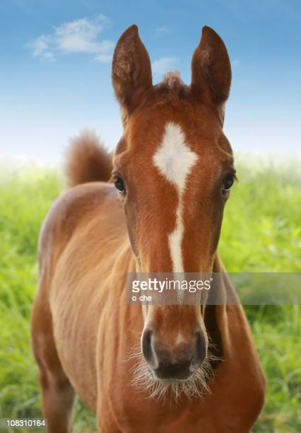 Chestnut foal portrait