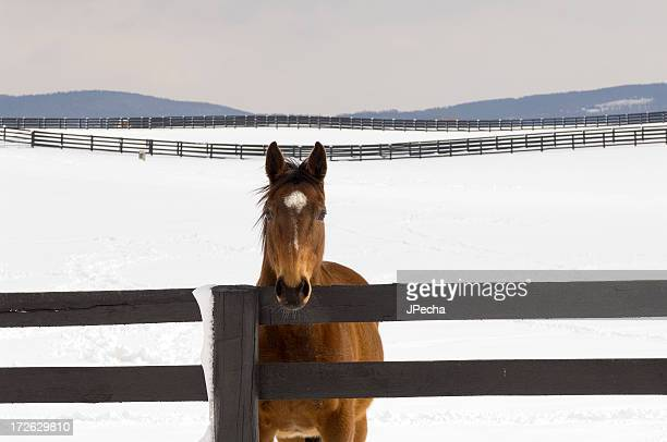 Chestnut Horse in Snowy Pasture looking at Camera
