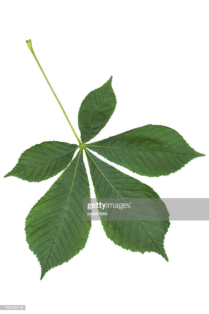 Chestnut leaf with clipping path