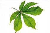 Chestnut leaves (Aesculus hippocastanum), close-up