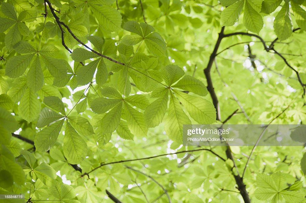 Chestnut tree foliage, full frame