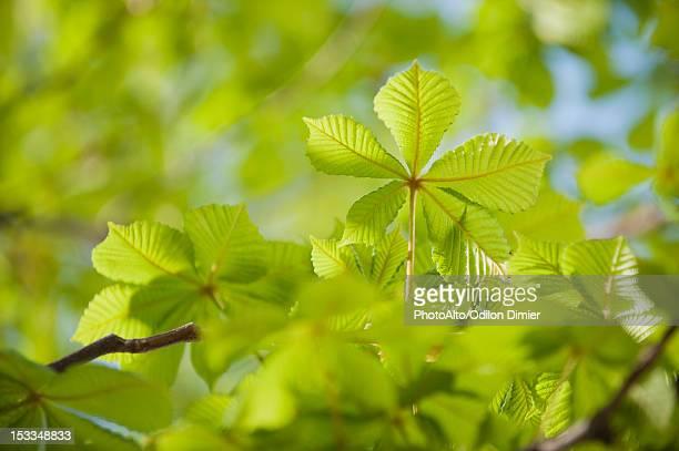Chestnut tree foliage