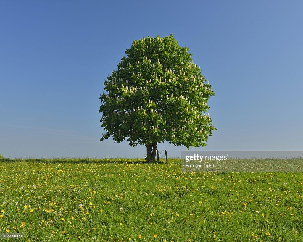 Chestnut Tree in Dandelion Meadow