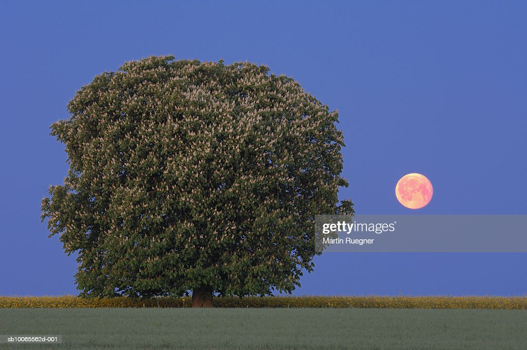 Closeup Of Chestnut Tree Outdoors Stock Photo Getty Images