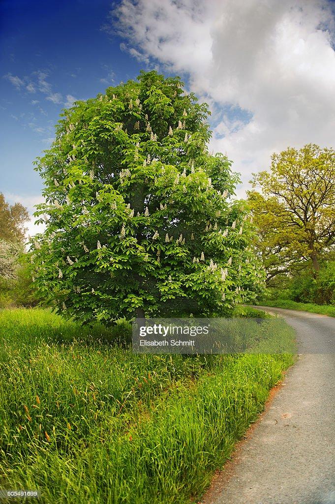 Chestnut tree in full blossom