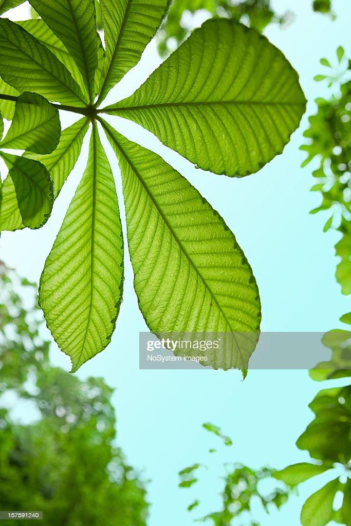 Chestnut tree leaf background