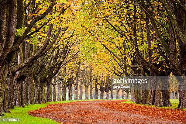 Chestnut trees in fall