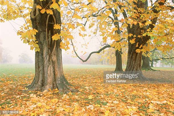 Chestnut trees in the autumn