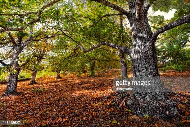 Chestnut trees in wood