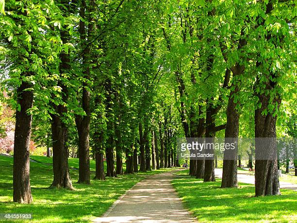 Chestnut-lined avenue in spring