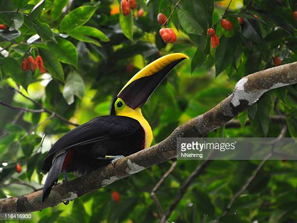 chestnut-mandibled toucan, Ramphastos swainsonii