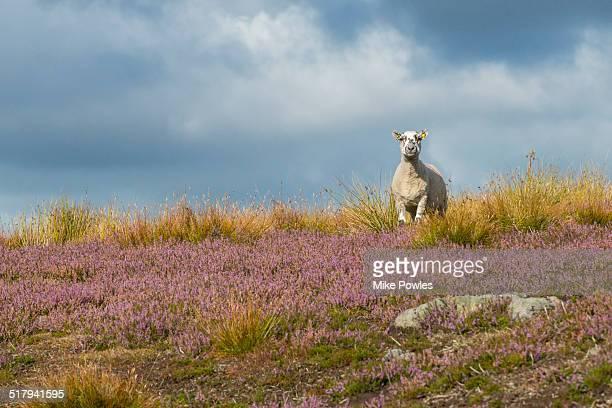 Cheviot Sheep grazing in flowering heather, Yorks