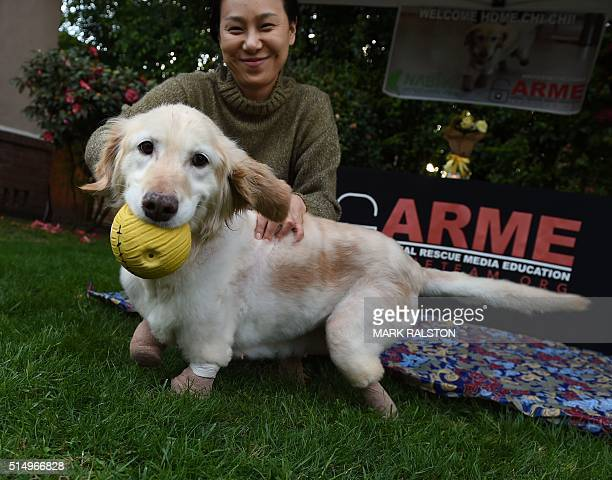 Chi Chi the Golden Retriever plays with a ball upon her arrival in the US after she was tortured and left for dead in a trash bag in South Korea in...