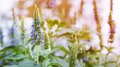 Purple chia flowers on stalk growing in garden in Spring landscape