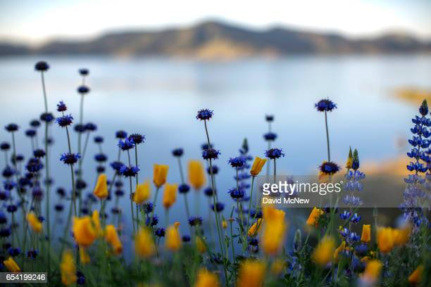 Chias and California poppies which will remain closed until warmed by direct sunlight bloom after prolonged record drought gave way to heavy winter...