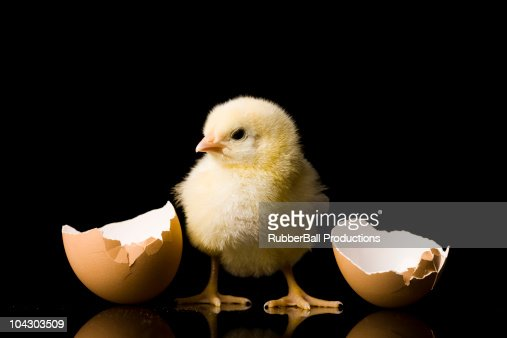 chick hatching from an egg : Stock Photo