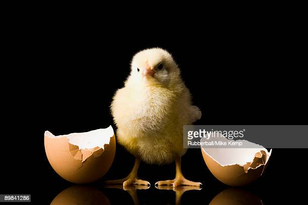 chick hatching from an egg