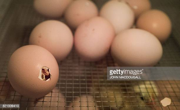 A chick pecks its way out of its egg in an incubator at a lab at the Carl Gustav Carus Faculty of Medicine of the Dresden Institute of Technology as...