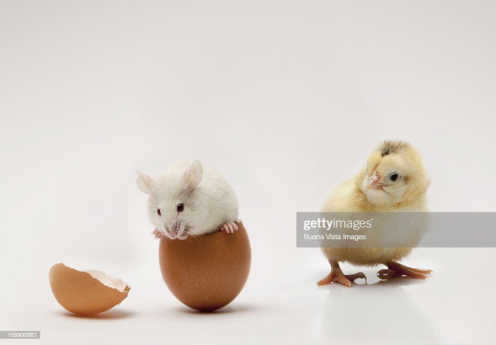 A chick watching a mouse in an egg : Stock Photo