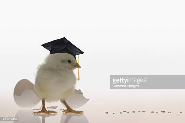 Chick wearing graduation cap