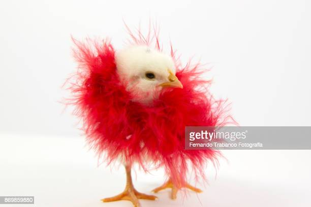 Chick with red feather boa