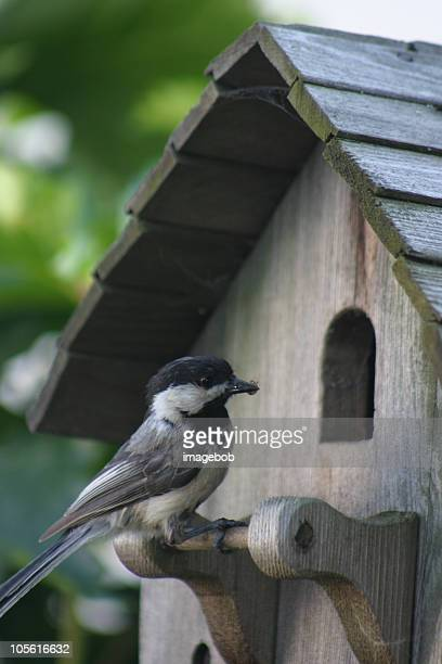 Chickadee at home