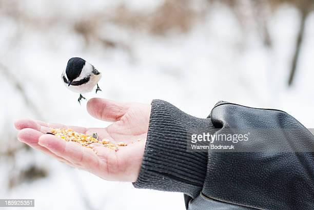 Chickadee Eating Seed from Hand