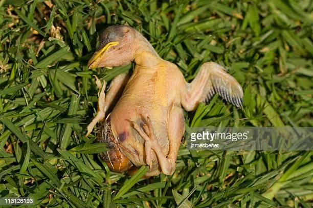 Chickadee Fallen From the Nest