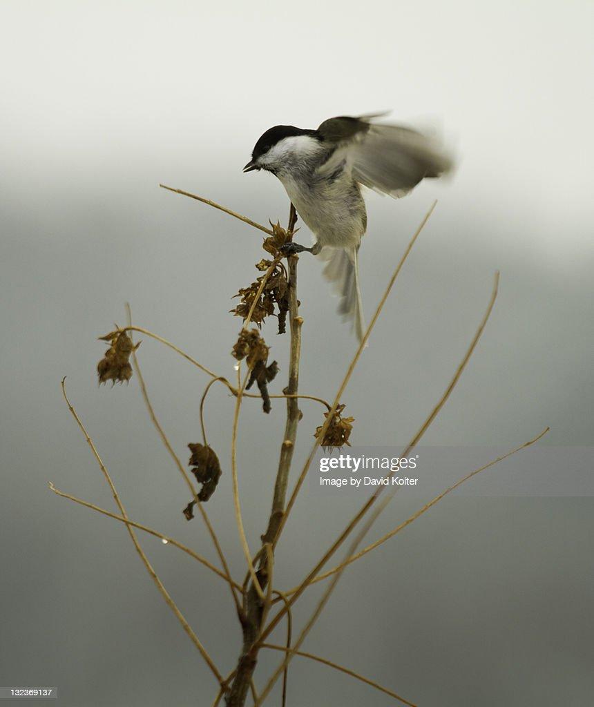 Chickadee landing - photo#11