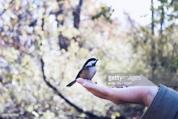 Chickadee perching on human hand