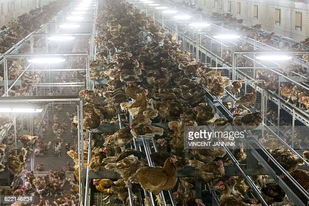 Chicken are pictured lock in a poultry farm in Bergentheim November 10 2016 following the discovery of bird flu among wild birds in Europe Poultry...