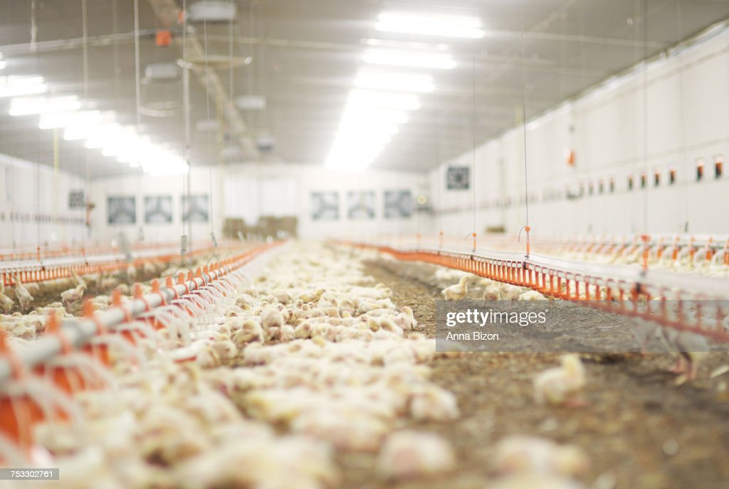 Chicken Coop Interior And Some Chickens. Debica, Poland : Stock Photo