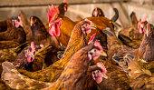 chicken creation farm animal
