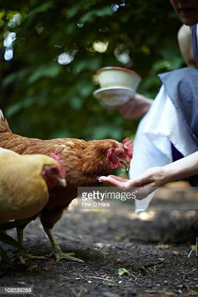 A chicken eats out of a human hand.