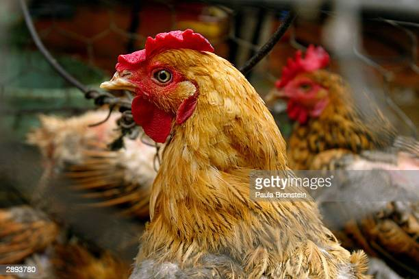A chicken for sale can be seen at the Ben Xe Long Bien market January 23 2004 in Hanoi Vietnam Millions of chickens in Vietnam Japan South Korea...