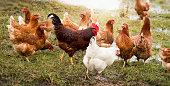 chicken henchicken hen