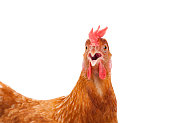 head of chicken hen shock and funny surprising isolated white background