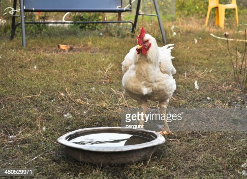 Chicken in the yard. : Stock Photo