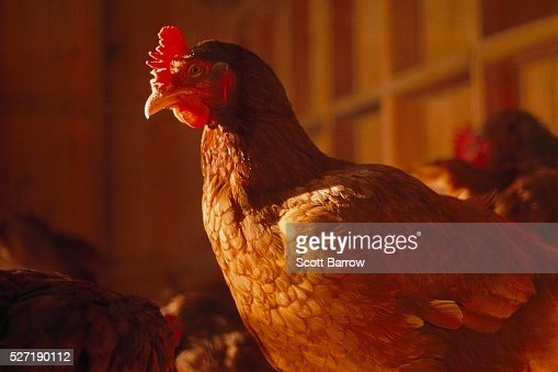 Chicken on a farm : Stock Photo