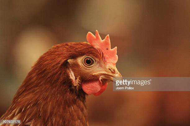 Chicken sits in a barn at an organicaccredited poultry farm on January 7 2011 in Elstorf Germany Organic farmers across Germany are likely to benefit...