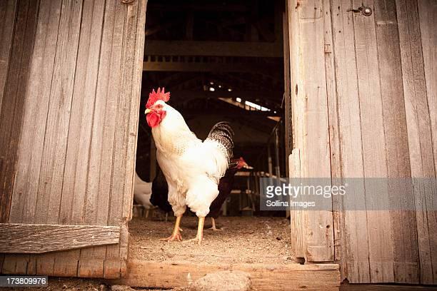 Chicken standing at door of coop