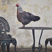 Chicken standing on top of outside table setting