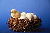 Chicken with eggs in nest