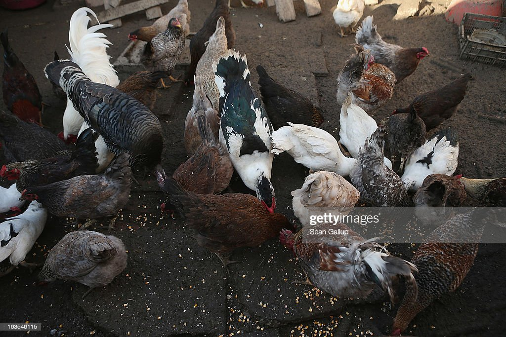 Chickens and ducks gobble up food tossed to them by ethnic Roma Mihaela Boboaca on her property on March 11, 2013 in Dilga, Romania. Mihaela has worked as a migrant worker in Spain picking strawberries for three consecutive years, though she says she is taking a break as she is pregnant with her third child. Dilga is a settlement of 2,500 people with dirt roads and no running water, and unemployment is at 70%. Most of the working-age men and women have at some point worked abroad, mostly in Italy or Great Britain, as many say they are unable to find adequate work in Romania. Romania's Roma belong to a myriad of different tribes defined by their craft, and Dilga's belong to a group called the Rudari, who until the 1930s specialised in woodcrafts. During the communist years most worked in nearby state-run factories and agricultural cooperatives, though the majority of these went bankrupt after 1989 and the local Roma lost their jobs. Since then they have struggled to make ends meet and find a better future for their children, though projects initiated by the European Union and NGOs are helping some to launch small-scale enterprises and improve their children's education.