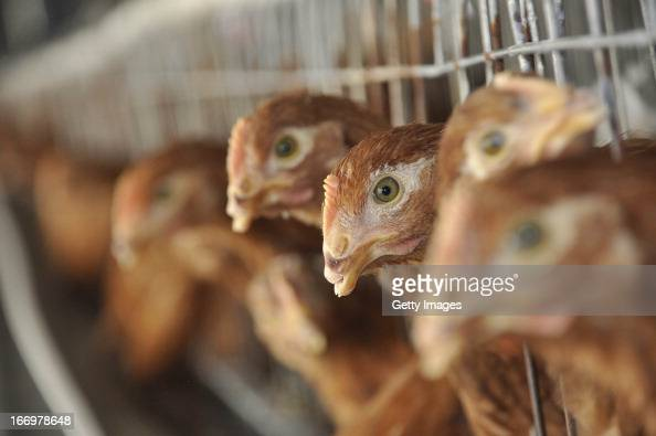 Chickens are seen at a poultry farm on April 18 2013 in Liaocheng China China on Thursday confirmed five new cases of H7N9 avian influenza bringing...