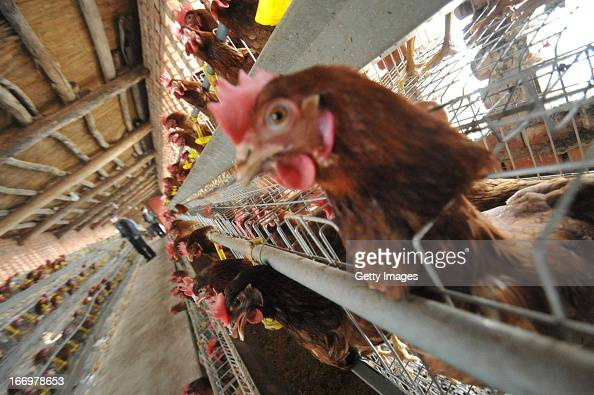 Chickens are seen at a poultry farm on April 18 2013 in Yuncheng China China on Thursday confirmed five new cases of H7N9 avian influenza bringing...