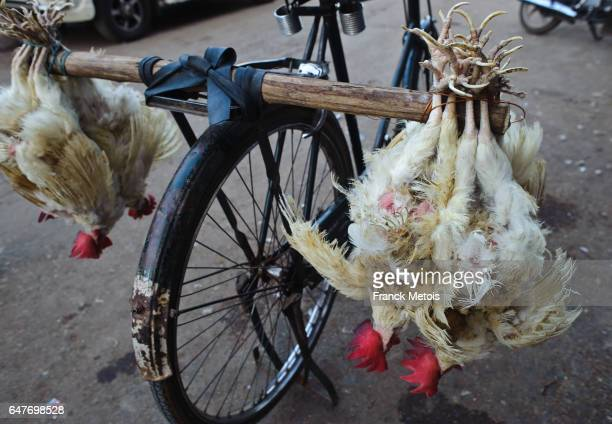 Chickens carried by cycle ( India)