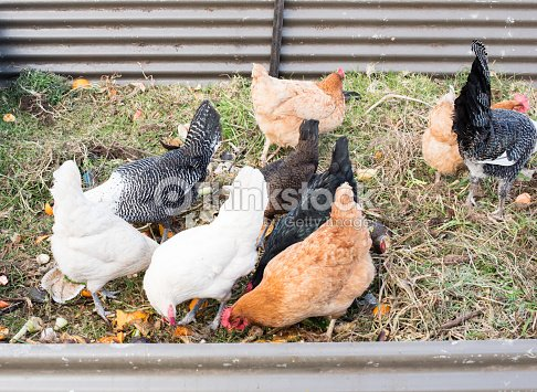 Chickens Eating Food Scraps In Pen Stock Photo Thinkstock