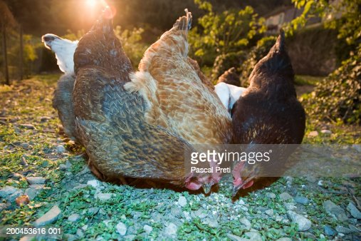 Chickens eating, sunset : Stock Photo